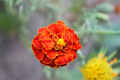 Motley flower. Beautiful motley flower in a summer day in the garden Stock Photo