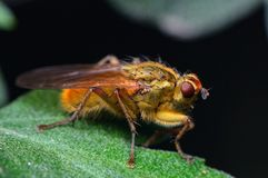 Motley Fly Royalty Free Stock Photo