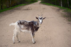Motley goat on a road Stock Photo