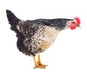 Motley hen laying hen. Isolated. Stock Image