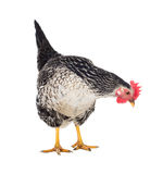 Motley hen laying hen. Isolated. Stock Photos