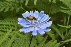 Motley insect  on flowers of chicory. Royalty Free Stock Photography
