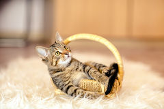 Motley kitten plays in a basket. Age of 2 months. Royalty Free Stock Images