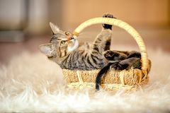 Motley kitten plays lying in the basket. Age of 2 months. Royalty Free Stock Image