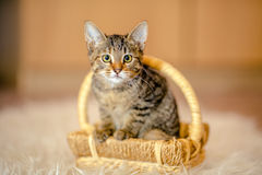 Motley kitten sitting in a basket, looking forward. Age of 2 mon Stock Images