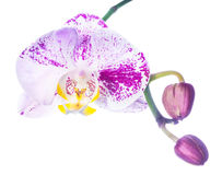Motley lilac orchid isolated with bud, on a white background Royalty Free Stock Images