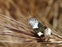 Motley moth Acontia lucida on a dry spike of grass royalty free stock photography