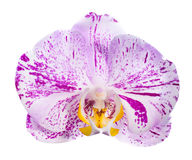 Motley orchid isolated, on a white background Stock Photos
