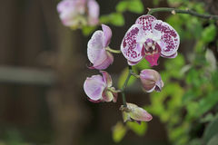 Motley Orchids Royalty Free Stock Images