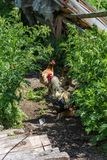 Motley rooster and hens are walking in the yard, Village life, Altai, Russia royalty free stock photos