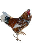 Motley rooster isolated Stock Photography