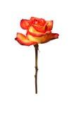 Motley Rose Stock Photo