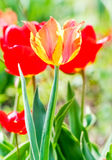 Motley tulip closeup. Motley tulip on the background of flowerbeds with red tulips stock image
