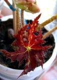 Motly leaf of begonia Stock Photos