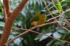 Motmot Fotos de Stock