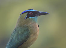 motmot Azul-coronado Fotos de archivo