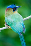 Motmot bird Royalty Free Stock Photography