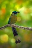 Motmot Bleu-couronné, momota de Momotus, portrait de nature sauvage de grand oiseau gentil, beau fond coloré de forêt, vue d'art, photos libres de droits