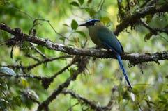 Motmot couronné par bleu Colombie Photo stock