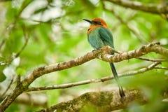 Motmot Largo-faturado, sition colorido bonito do pássaro do platyrhynchum do elétron em um ramo Animal dos animais selvagens de C imagens de stock