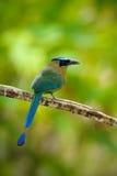 青被加冠的Motmot, Momotus momota,好的大鸟狂放的自然,哥斯达黎加画象  库存照片