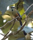 Motmot Turquesa-cejudo Fotos de archivo