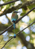 Motmot Turquesa-cejudo Fotografía de archivo