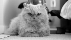 Moto del gatto persiano che pulisce la sua palma sul pavimento archivi video
