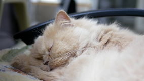Moto del gatto persiano di sonno video d archivio