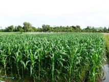 Moto della foglia della piantagione del cereale con vento nell'agricoltura Immagine Stock Libera da Diritti
