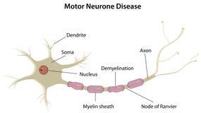 Motoneurone Fotografie Stock
