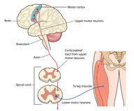 Motor nerves from leg to motor cortex. Motor nerves originating in the leg muscles traveling via the spinal cord to the motor cortex or the brain. Created in royalty free illustration