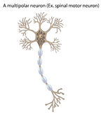 Motor neuron, detail and accurate,non-labeled vs Royalty Free Stock Photos