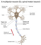 Motor neuron, detailed and accurate, labeled vers. Stock Photography