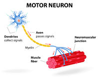Motor neuron. Vector diagram. Structure motor neuron. Vector diagram. Include dendrites, cell body with nucleus, axon, myelin sheath, nodes of Ranvier and motor stock illustration