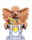 Motorbike dog Stock Photography