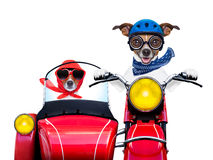 Motorbike dogs. Together in love having a hiloday trip royalty free stock photos