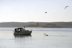 Motorboat and birds. Mototboat and swans in Little Belt, Denmark royalty free stock photo