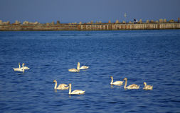 Swans on sea Stock Photos
