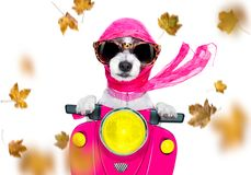 Free Motorcycle   Diva Dog On Autumn Or Fall Royalty Free Stock Photos - 161807888