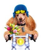 Motorcycle dog Royalty Free Stock Photography