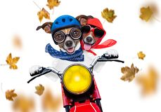 Free Motorcycle  Dog On Autumn Or Fall Royalty Free Stock Photo - 161807935