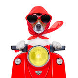 Motorcycle dog summer dog Stock Photography