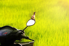 Motorcycle in the field. Sparrow on Mirror Plain-backed Sparrow Stock Images