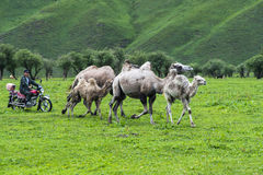Motorcycle shepherd grazing camels. Xinjiang scenery, both quiet and natural, fertile vast grassland, there are male and the United States, steep peaks, glaciers Royalty Free Stock Images
