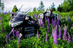 Motorcycle stands on a meadow of blooming lupines royalty free stock images