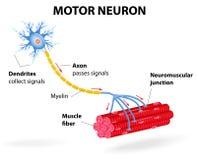 Motorisk neuron. Vektordiagram Royaltyfria Bilder
