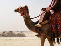 Motorista do camelo no deserto de Sahara, Egito foto de stock