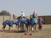 Motoristas do camelo dubai imagem de stock