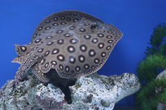 Motoro sting ray. (Potamotrygon motoro) is poisonous marine fish Stock Image